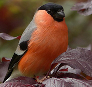 gallery/bullfinch-818188_640